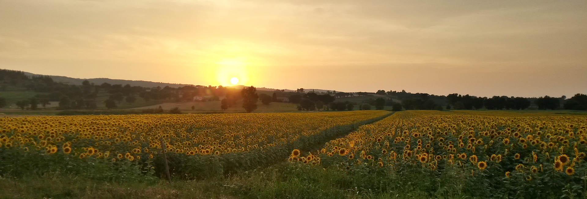 Agriturismo in Umbria - Panorama di girasoli